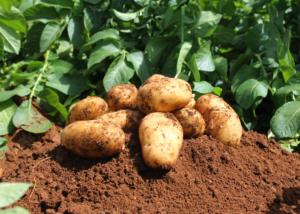 Culture-pomme-de-terre