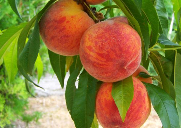 Profert-Arbre-fruitier-0021