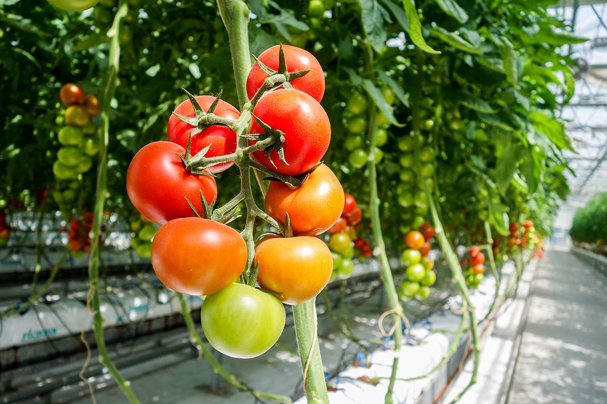 Tomate sous serre