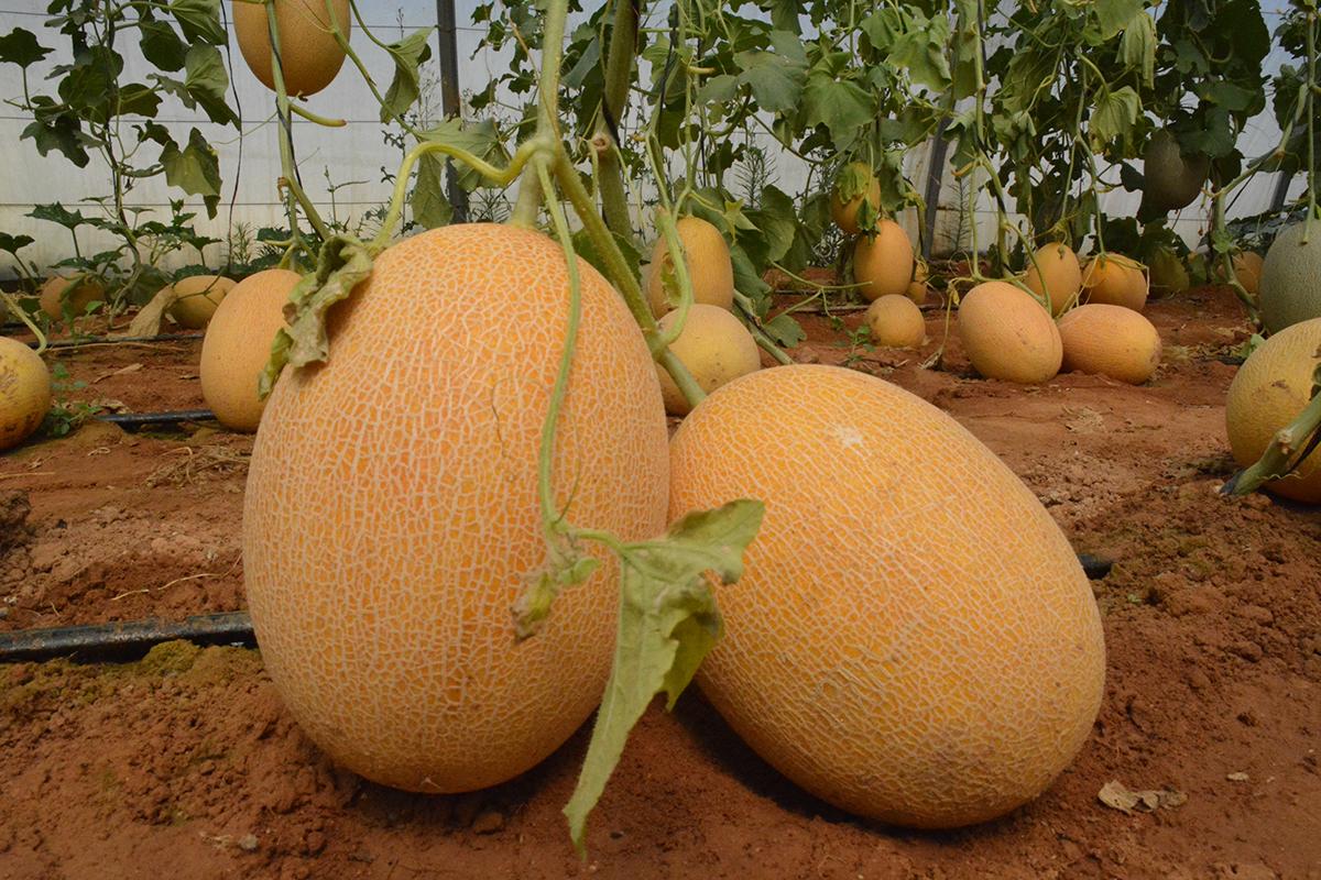 Melon-01