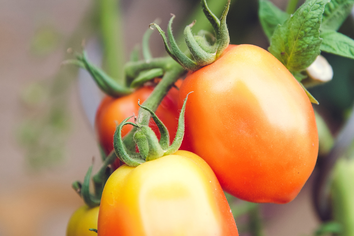 Tomate industriels-01